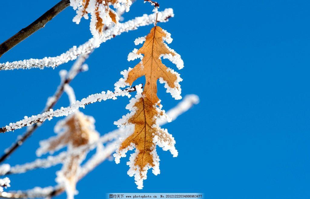 冬天 树叶图片