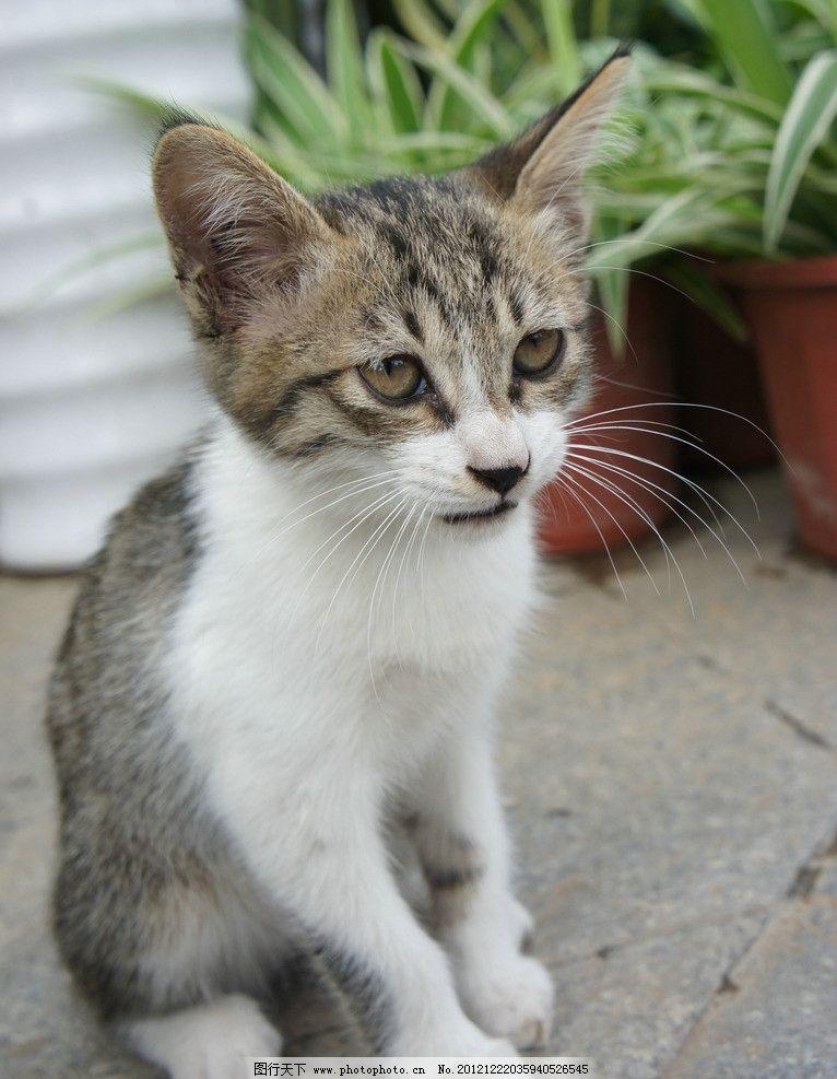 猫咪 宠物 小猫 花猫 大眼睛 可爱 动物 摄影