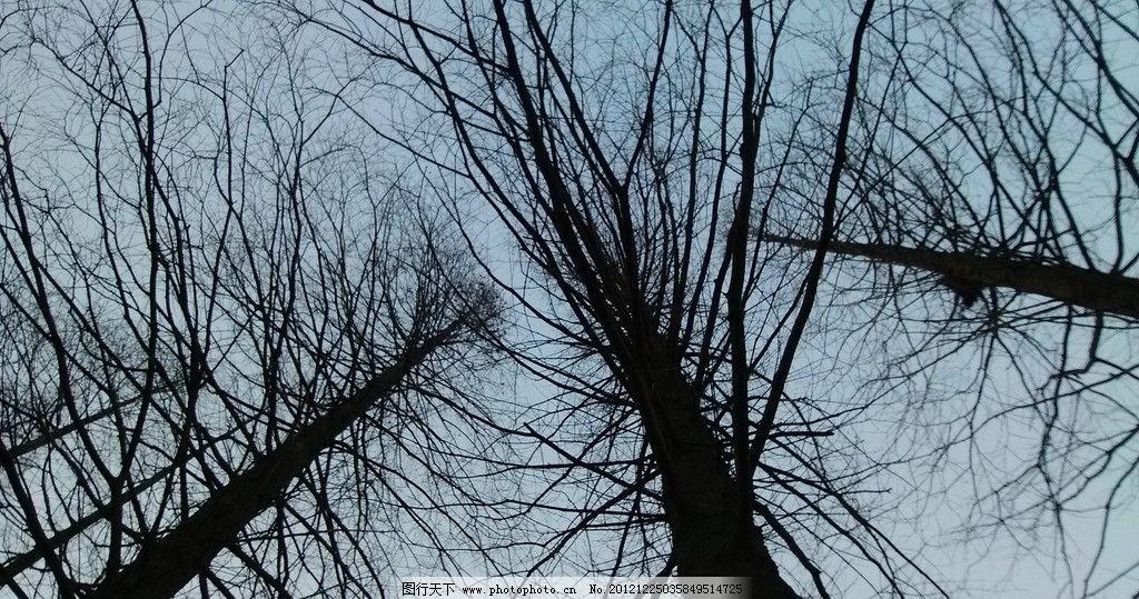 三颗树 冬天的树 冬天 树木 三颗水杉 树木树叶 生物世界 摄影 72dpi