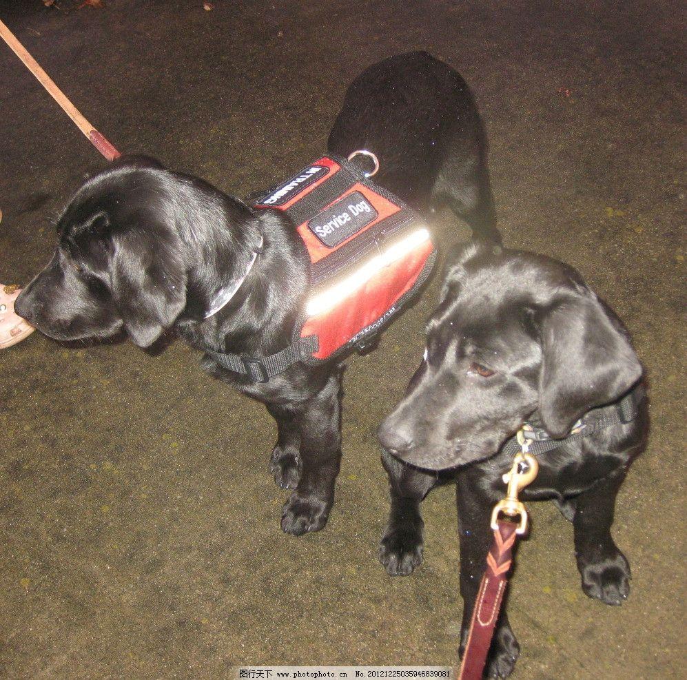 两条黑色拉布拉多救助犬 黑色 拉布拉多 救助犬 黑狗 两条狗 动物摄影