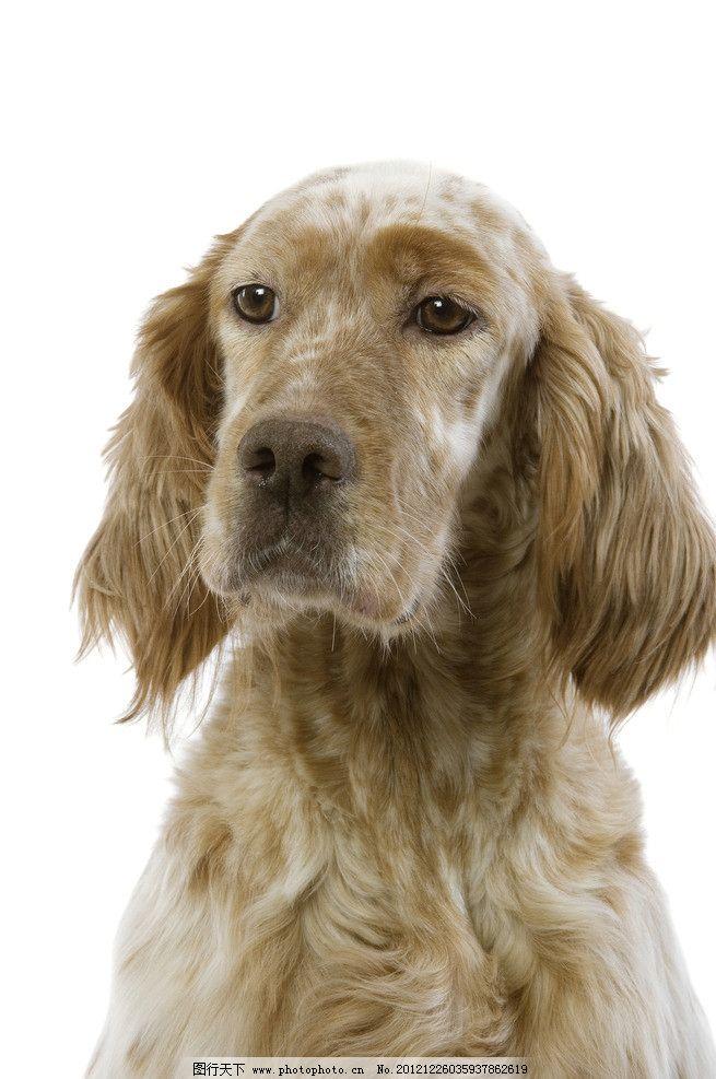 摄影图库 生物世界 家禽家畜  高清狗狗图片 高清 小狗 白底 家禽家畜