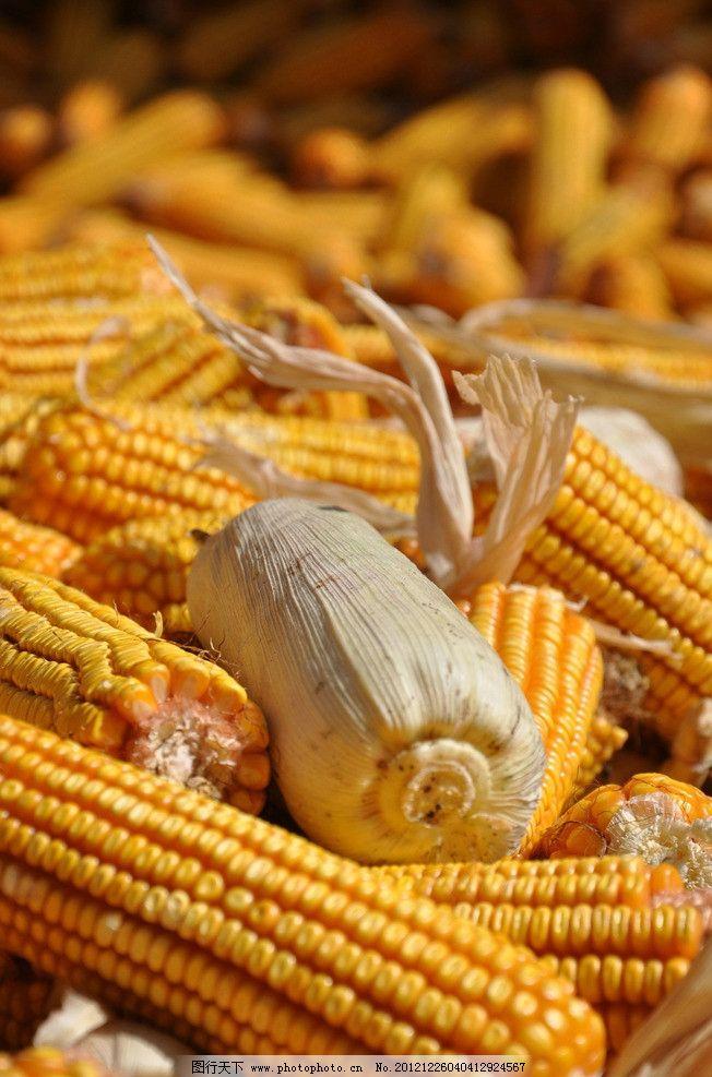 玉米丰收场景素材图片
