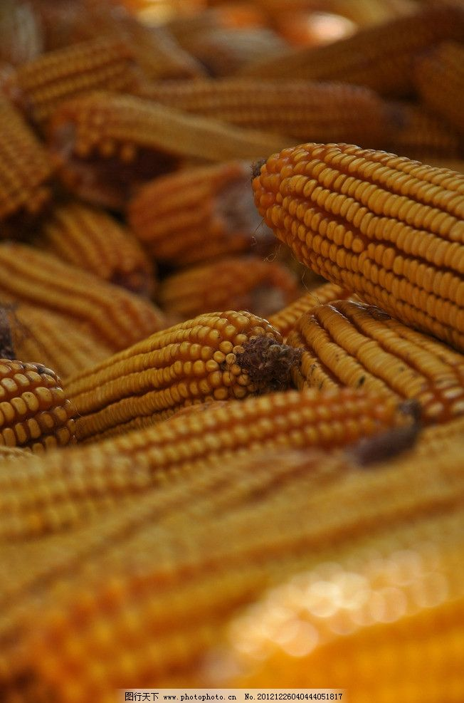 金秋玉米丰收素材图片