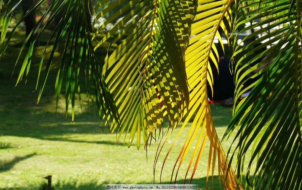 树叶 芭蕉 椰树 阳光 草地 夏天 夏季 树木 树林 自然风光 自然风景图片