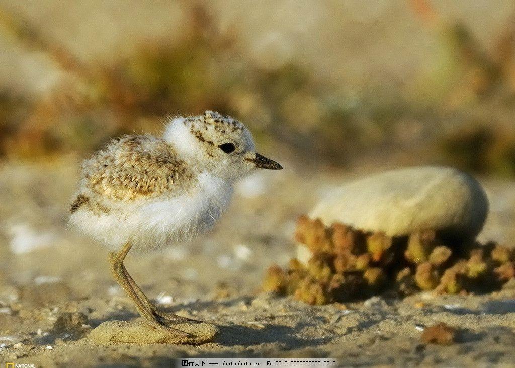 雏鸟 石头 泥土 野生动物 摄影