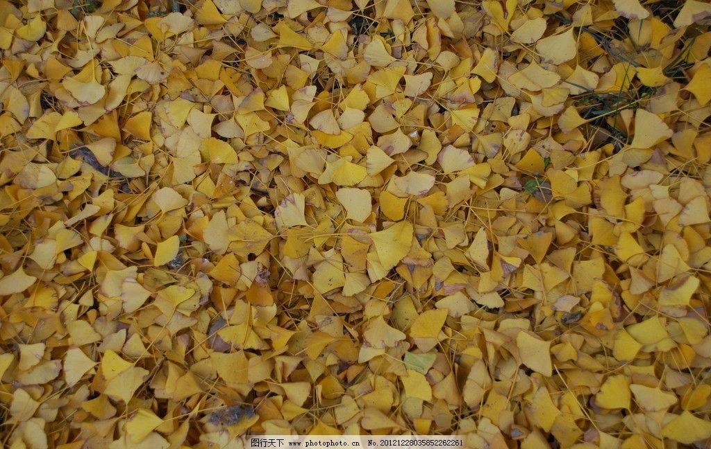 落叶 银杏树落叶 树木树叶 生物世界 摄影 300dpi jpg
