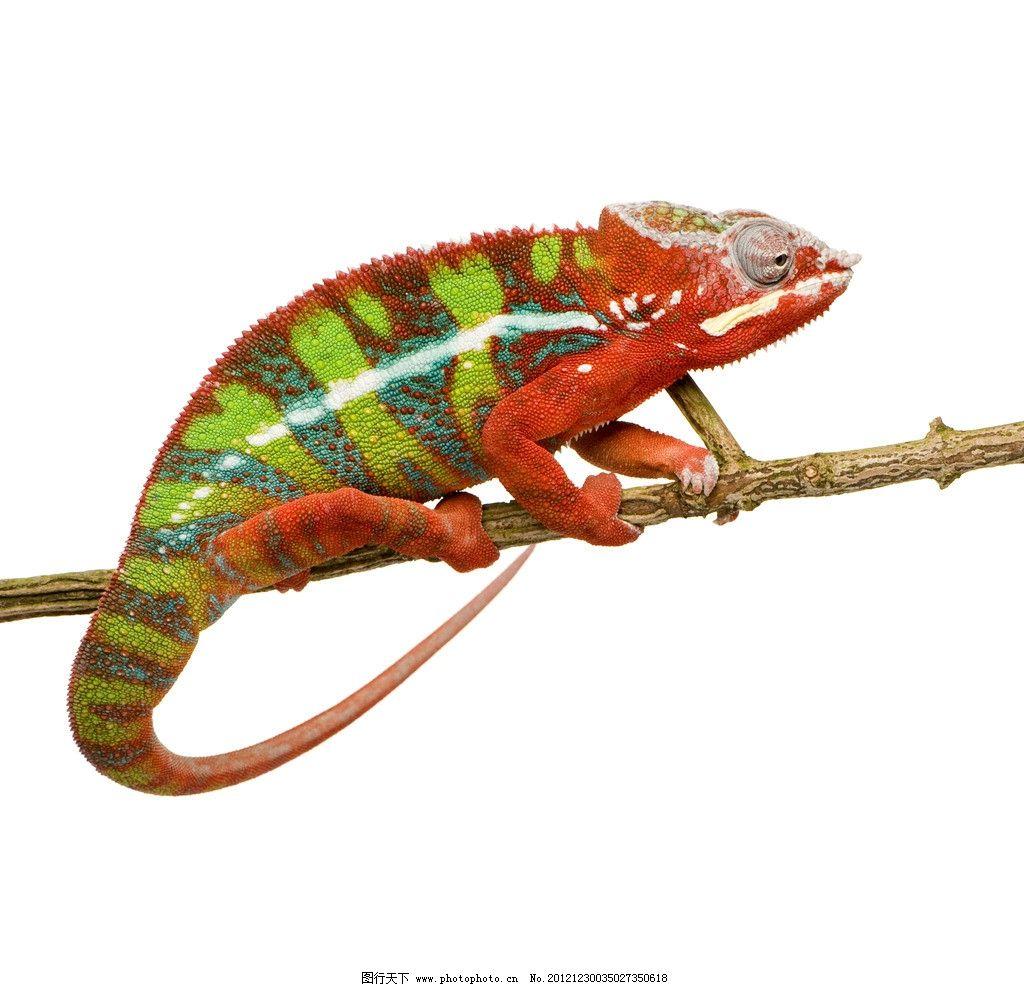 变色龙 丛林动物 野生动物 生物世界 摄影