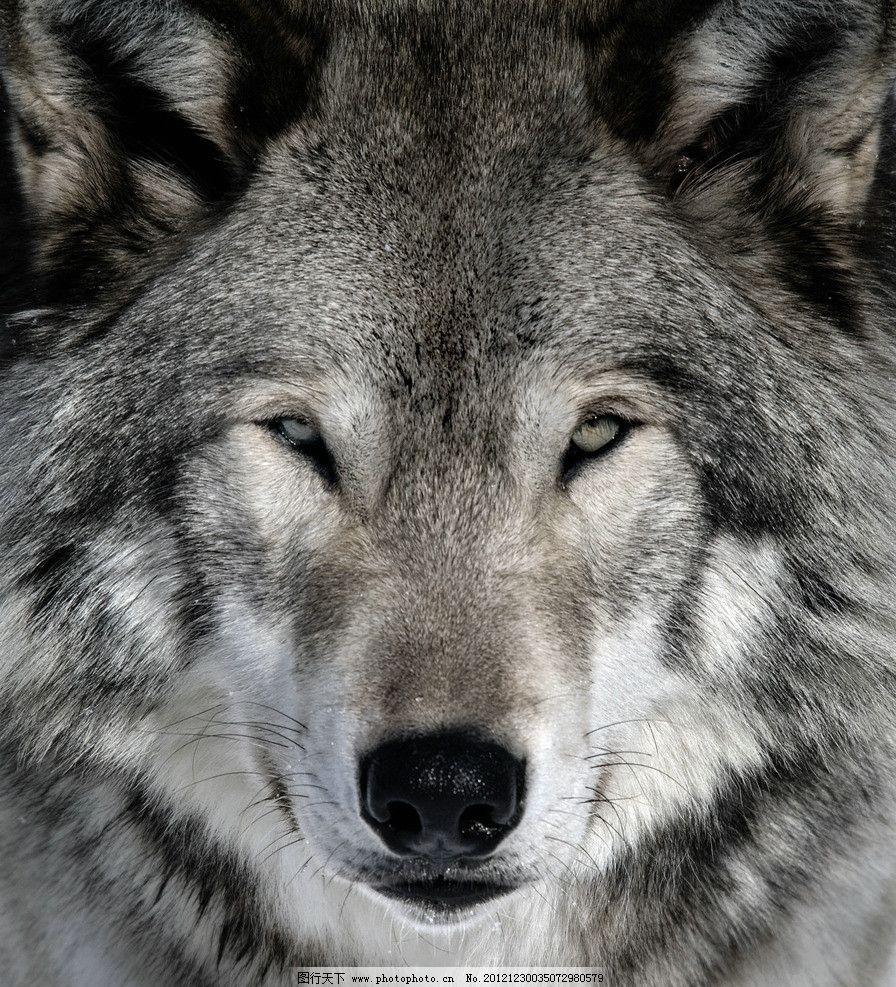 狼头 狼 凶狠 凶恶 大灰狼 灰狼 野生动物 生物世界 摄影 300dpi jpg