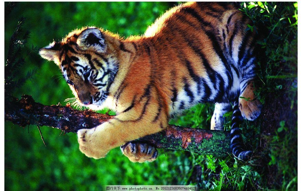 东北虎 老虎 树梢 俏皮 虎纹 动物 可爱 野生动物 生物世界 摄影 300