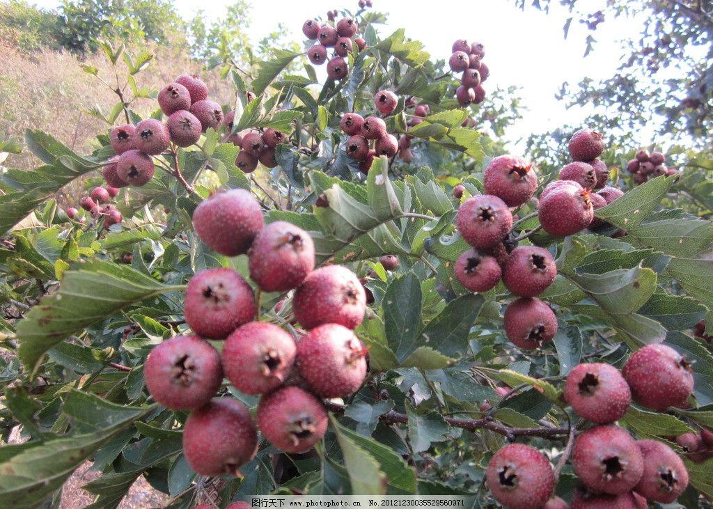 山楂 山里红 水果 红果 果实 树叶 山楂树 生物世界 摄影 180dpi jpg